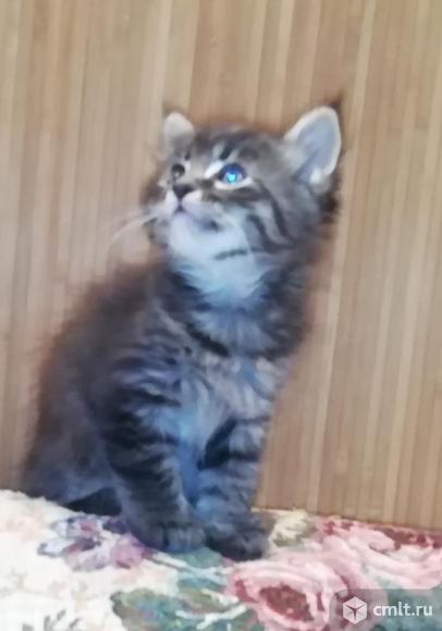 Помесные котята мейнкуна. Фото 1.