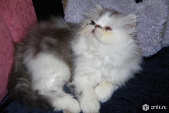 Персидский котенок. Фото 1.