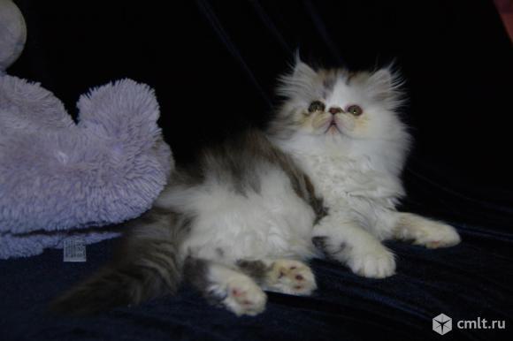 Персидский котенок. Фото 6.