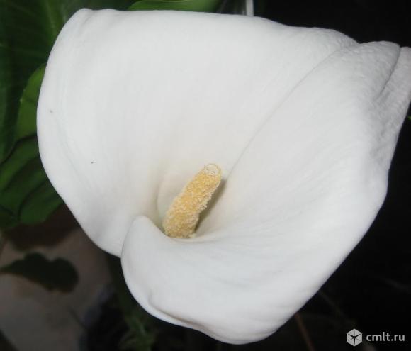 Калла с зефирантесами белыми. Фото 1.