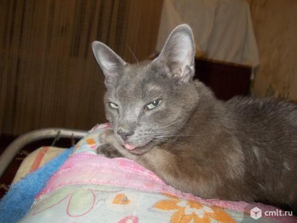 Котенок серо-голубого окраса. Фото 1.