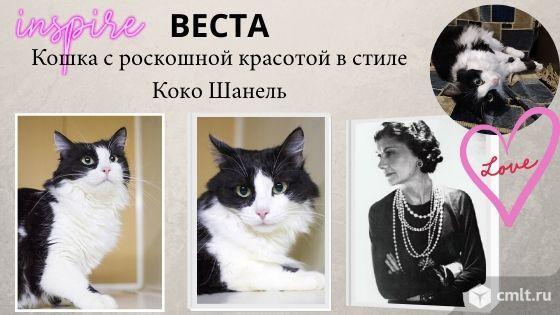 Веста - кошачья Коко Шанель. Фото 1.