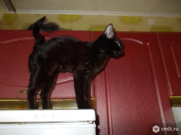 Черная кошечка (8 месяцев). Фото 3.