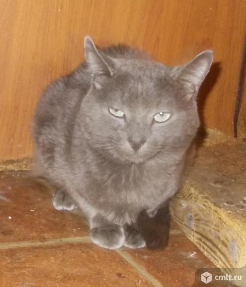 Русской голубой котята, мальчики, 7-8 мес. Фото 1.