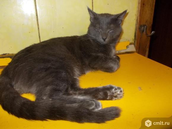 Русской голубой котята, мальчики, 7-8 мес. Фото 6.