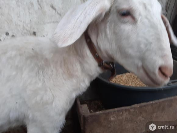 Нубийская коза.. Фото 1.