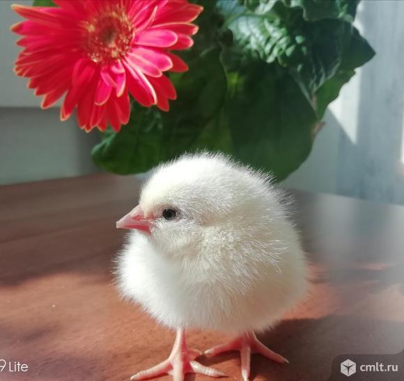 Цыплята бройлера. Фото 5.