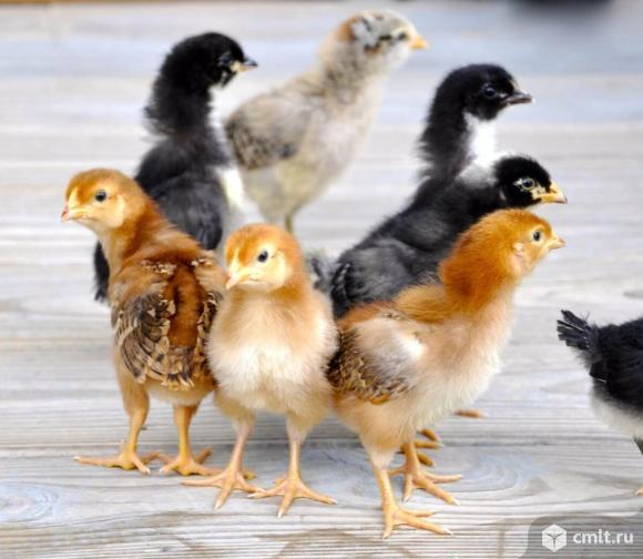 Домашние цыплята. Фото 1.