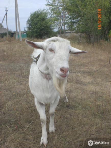 Продаются козлята Зааненской породы с родословной. Фото 1.