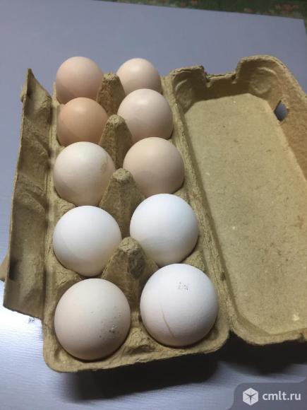 Инкубационное  яйцо .минимясная.барвистая. китайские шелковые белые. Фото 1.