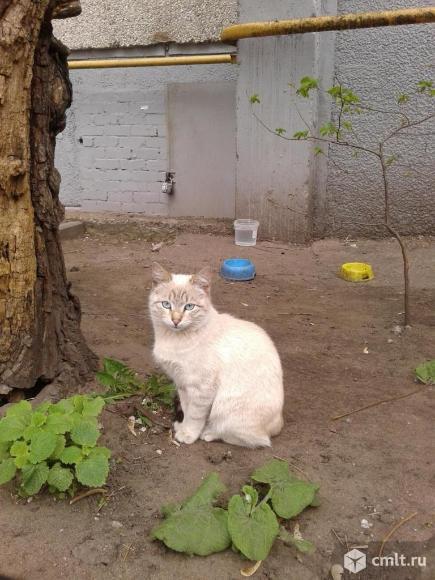 Светло-бежевая кошка с голубыми глазами. Фото 1.