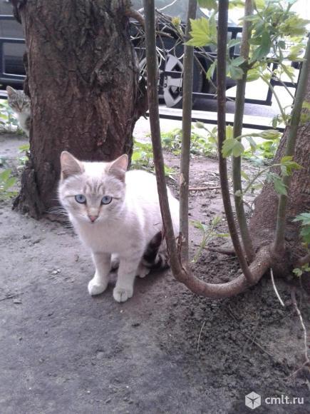 Светло-бежевая кошка с голубыми глазами. Фото 4.