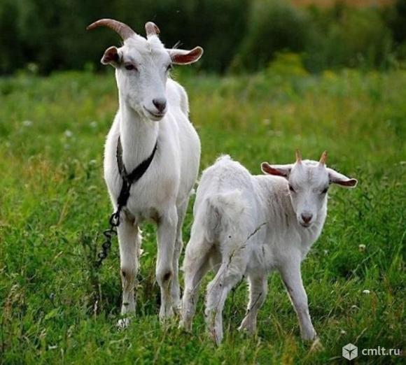 Продам коз. Фото 1.