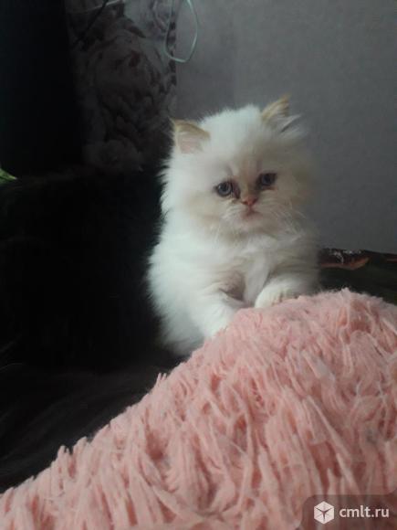 Персидский котёнок. Фото 1.