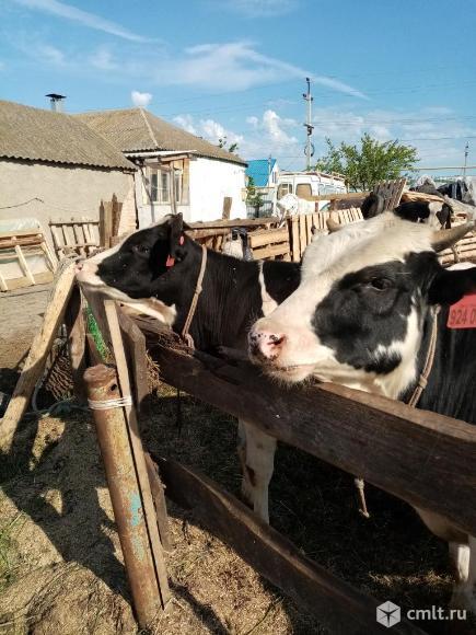 Продаю бычков 9 месяцев. Фото 4.