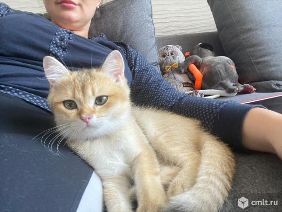 Котёнок британская золотая шиншилла. Фото 1.