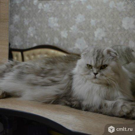 Шотландские котята. Фото 6.
