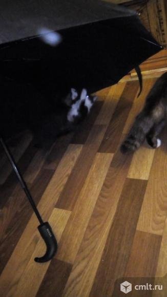 Отдам котят помесь курил бобтейл. Фото 3.