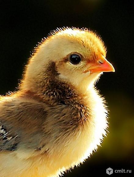 Цыплята деревенские. Продажа, обмен.. Фото 1.