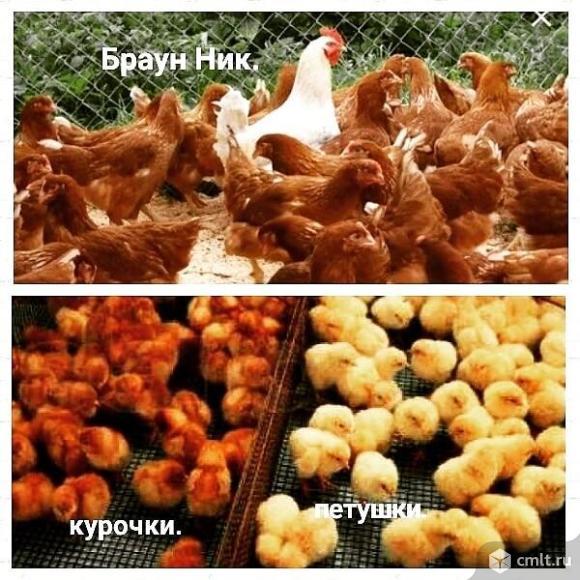 Цыплята рыжей несушки Браун Ник. Обмен.. Фото 4.