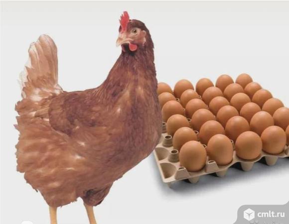 Цыплята рыжей несушки Браун Ник. Обмен.. Фото 1.