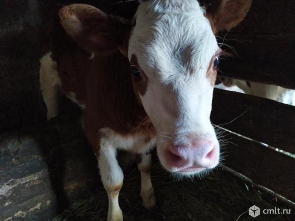 Тёлочка от высокоудойной коровы. Фото 2.