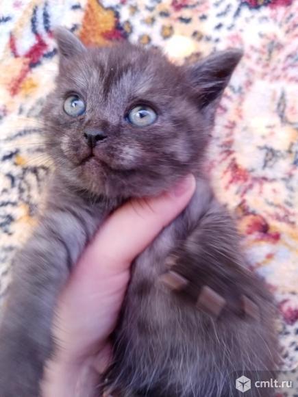 Отдам британских котят. Фото 1.