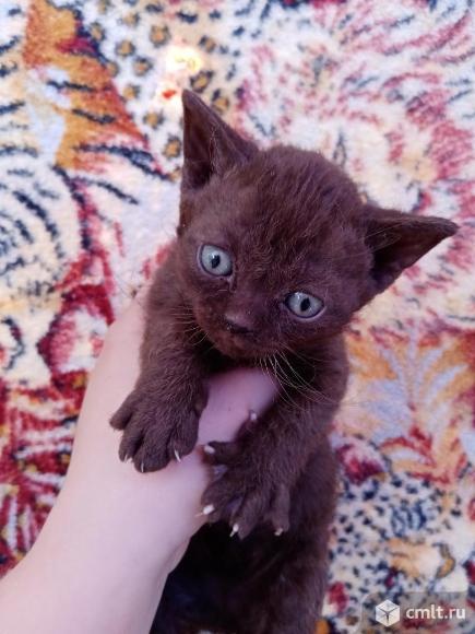 Отдам британских котят. Фото 4.