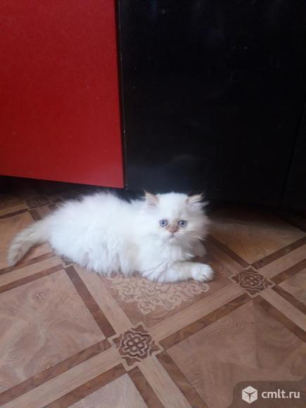 Персидский котёнок. Фото 2.