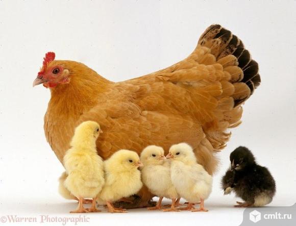 Инкубация яиц.. Фото 1.