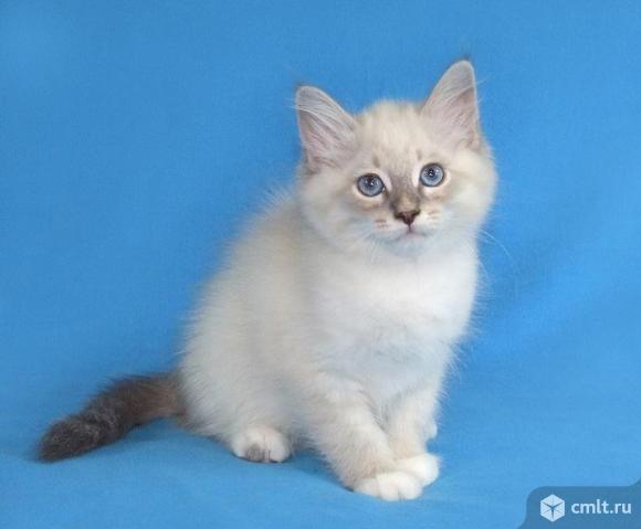 Котята   Невской Маскарадной   породы   кошек. Фото 1.