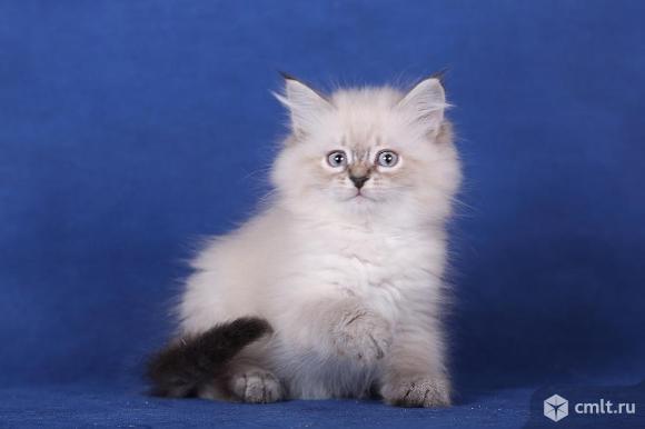 Котята   Невской Маскарадной   породы   кошек. Фото 2.