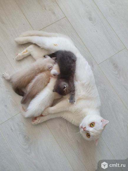 Продаю шотландских котят. Фото 1.
