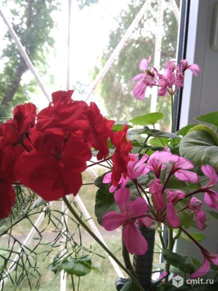 Растения пеларгония герань и др.. Фото 1.