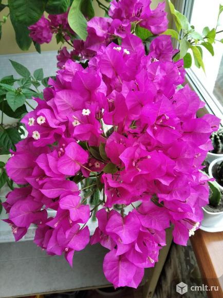 "Бугенвиллия цветущая ""Vera Deep Purple"". Фото 1."