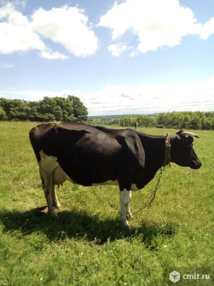 Продам корову. Фото 3.