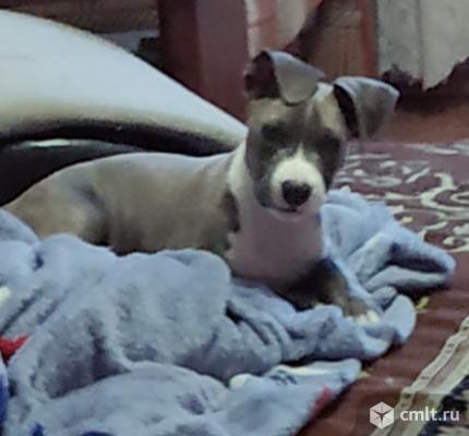 Продам щенка стаффордширского терьера. Фото 1.