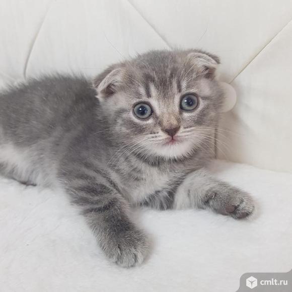 Продаю шотландских котят. Фото 12.