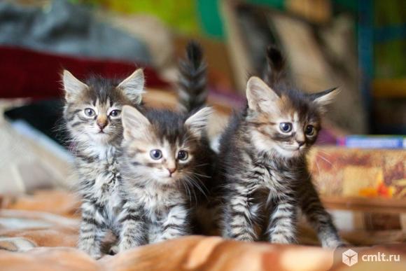 Пристраиваются три кошечки-малышки. Фото 1.