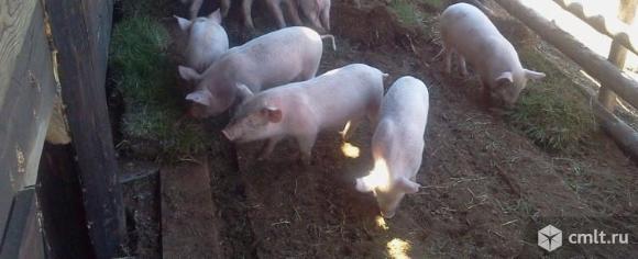 Продам поросят 2,5 месяца порода дюрок-ландрас, кушают все, примерный вес 30-35кг.. Фото 1.