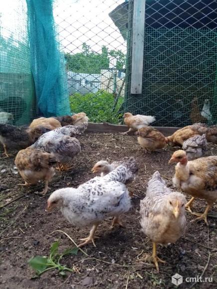 Цыплята помесные. Фото 9.