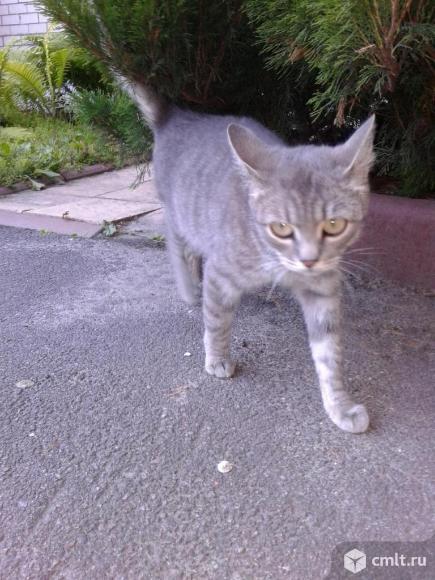 Светло-серая кошка в добрые руки. Фото 5.