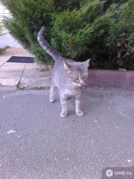 Светло-серая кошка в добрые руки. Фото 1.