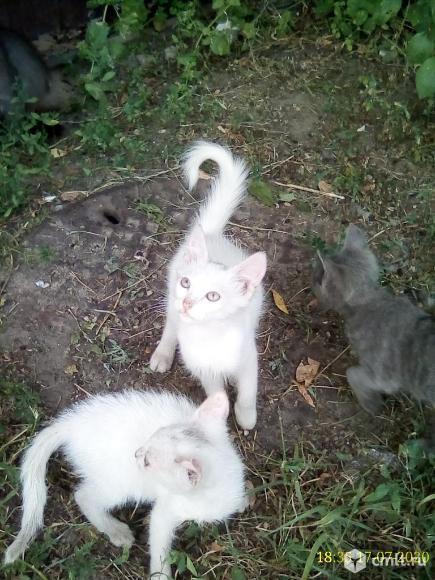 белые котята. Фото 1.