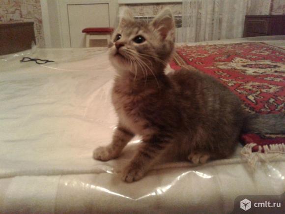 Котенок серого окраса (2 мес.). Фото 1.