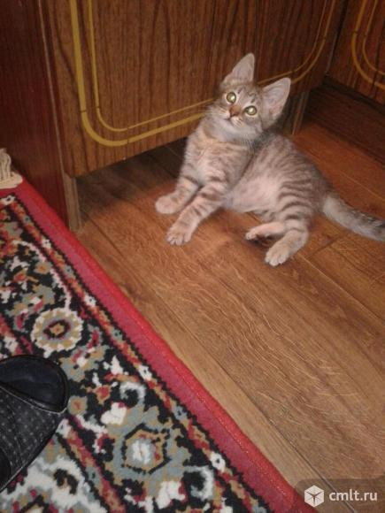 Котенок серого окраса (2 мес.). Фото 8.