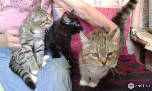 Кошечка шотландская прямоухая. Фото 3.