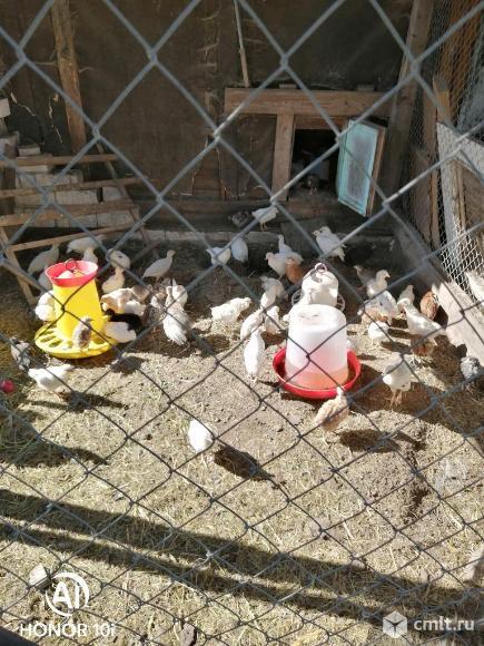 Цыплят вывод 05.06.21г. продам. Фото 2.