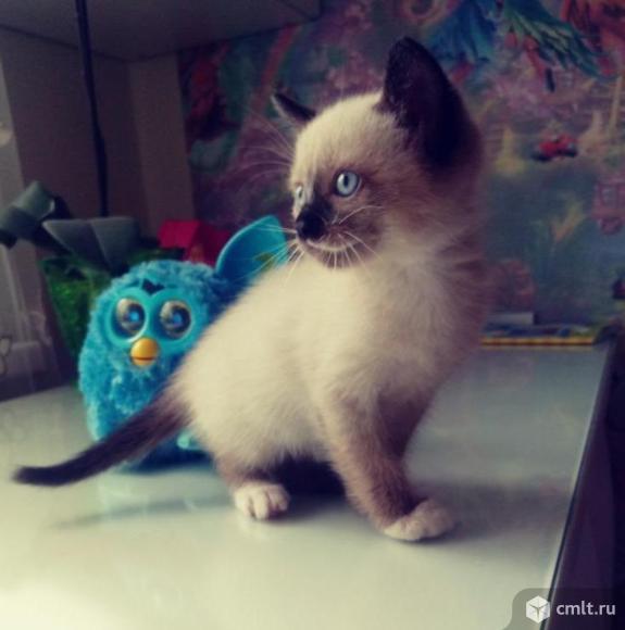 Котята тайской породы. Фото 1.