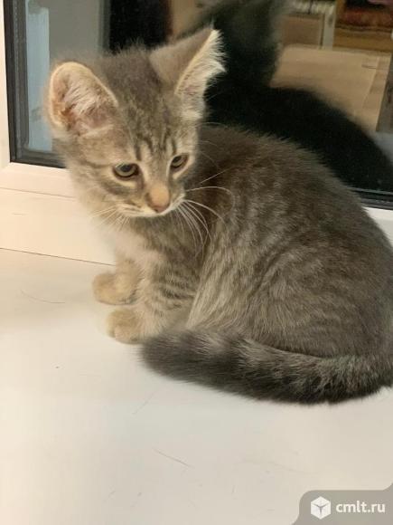 Светло серый котенок (девочка). Фото 1.